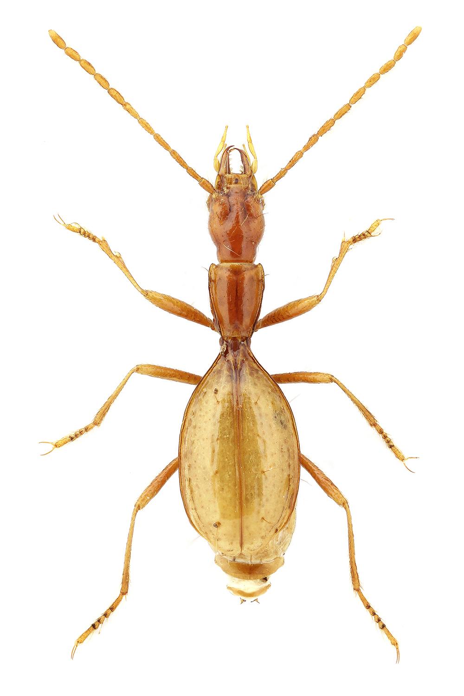 Coleoptera Acheroniotes mlejneki