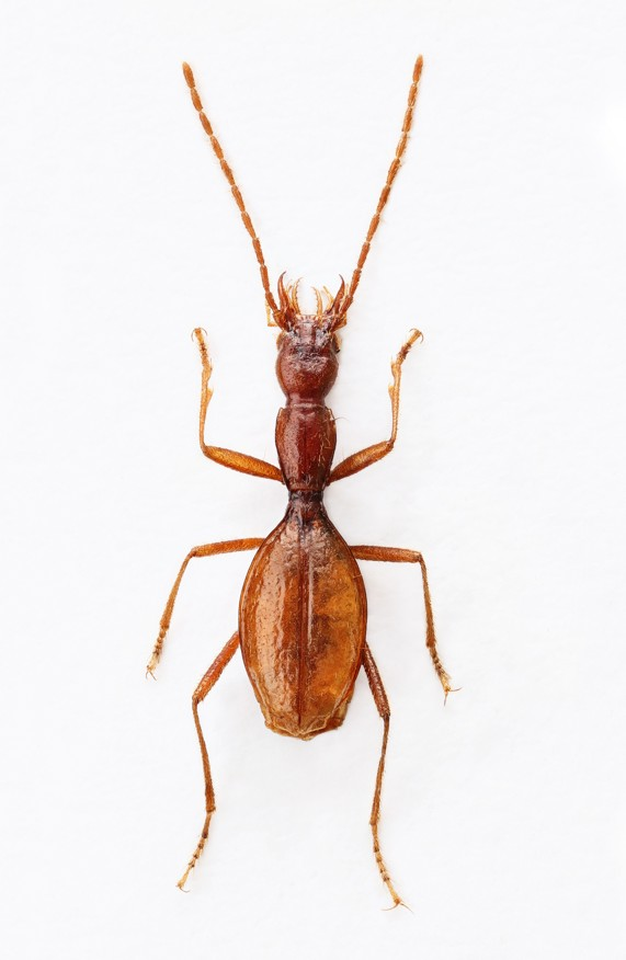 Coleoptera Adriaphaenops jasminkoi
