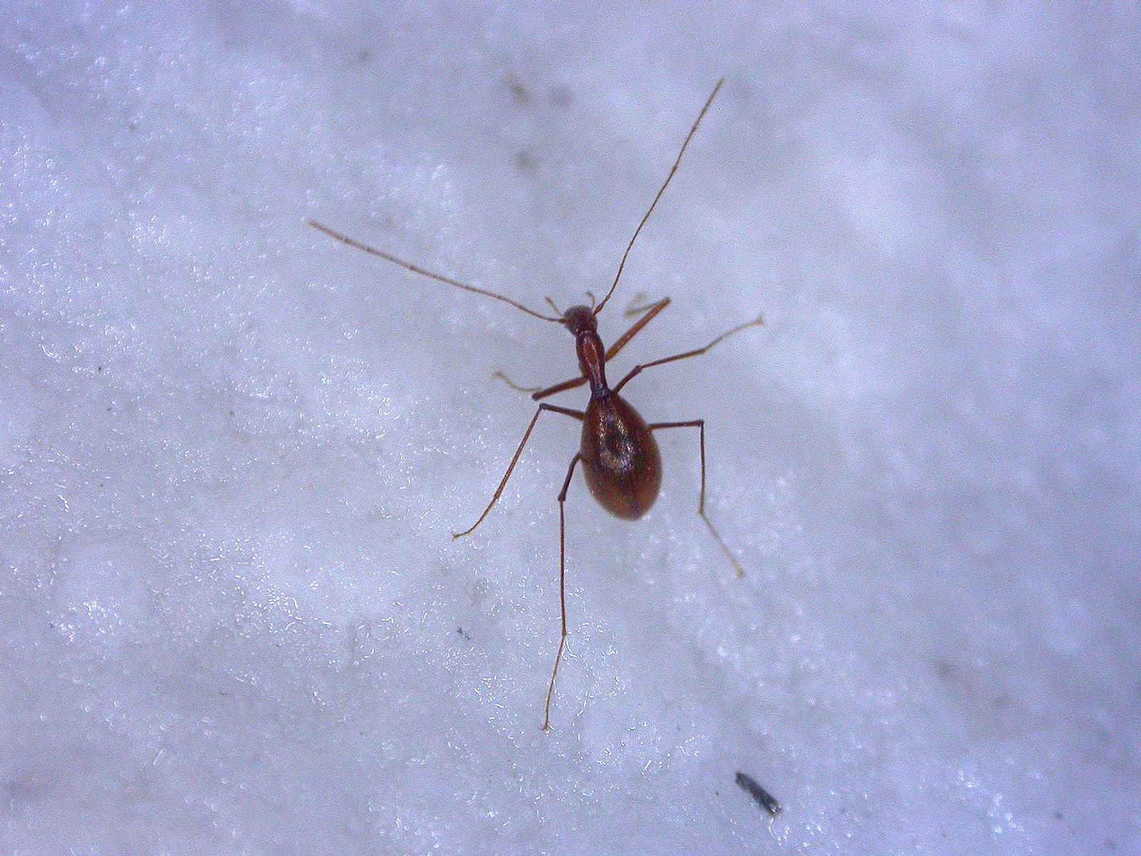 Coleoptera Anthroherpon ganglbaueri ganglbaueri (2)