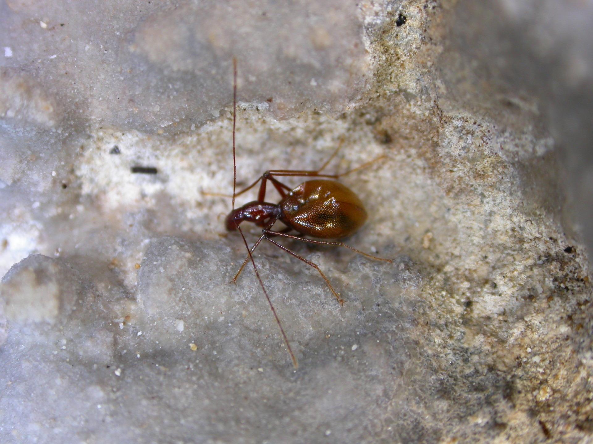 Coleoptera Anthroherpon primitivum primitivum