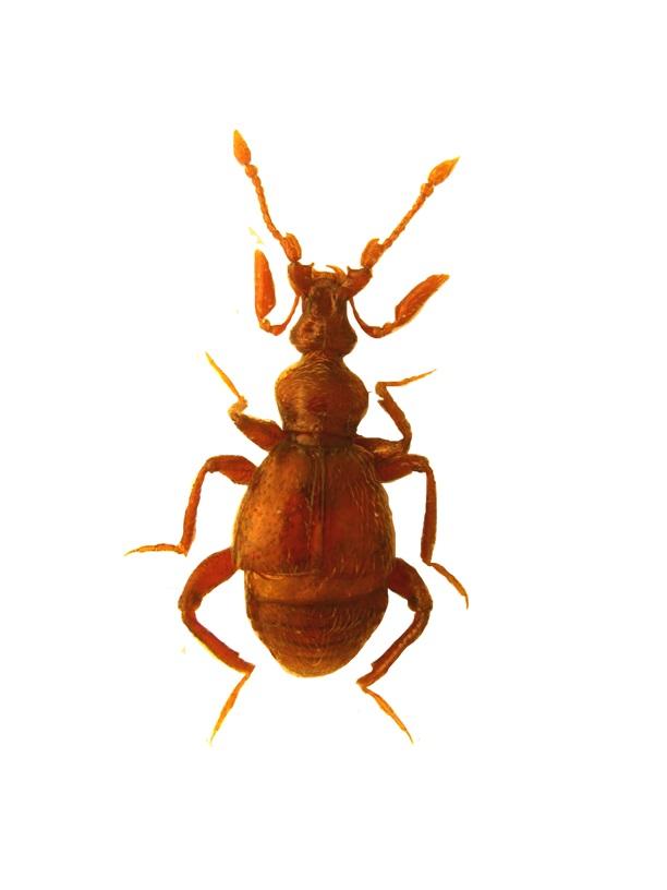 Coleoptera Bryaxis cepliki