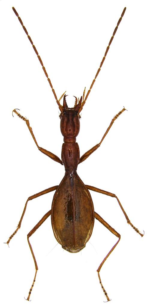 Coleoptera Derrossiella nonveilleri