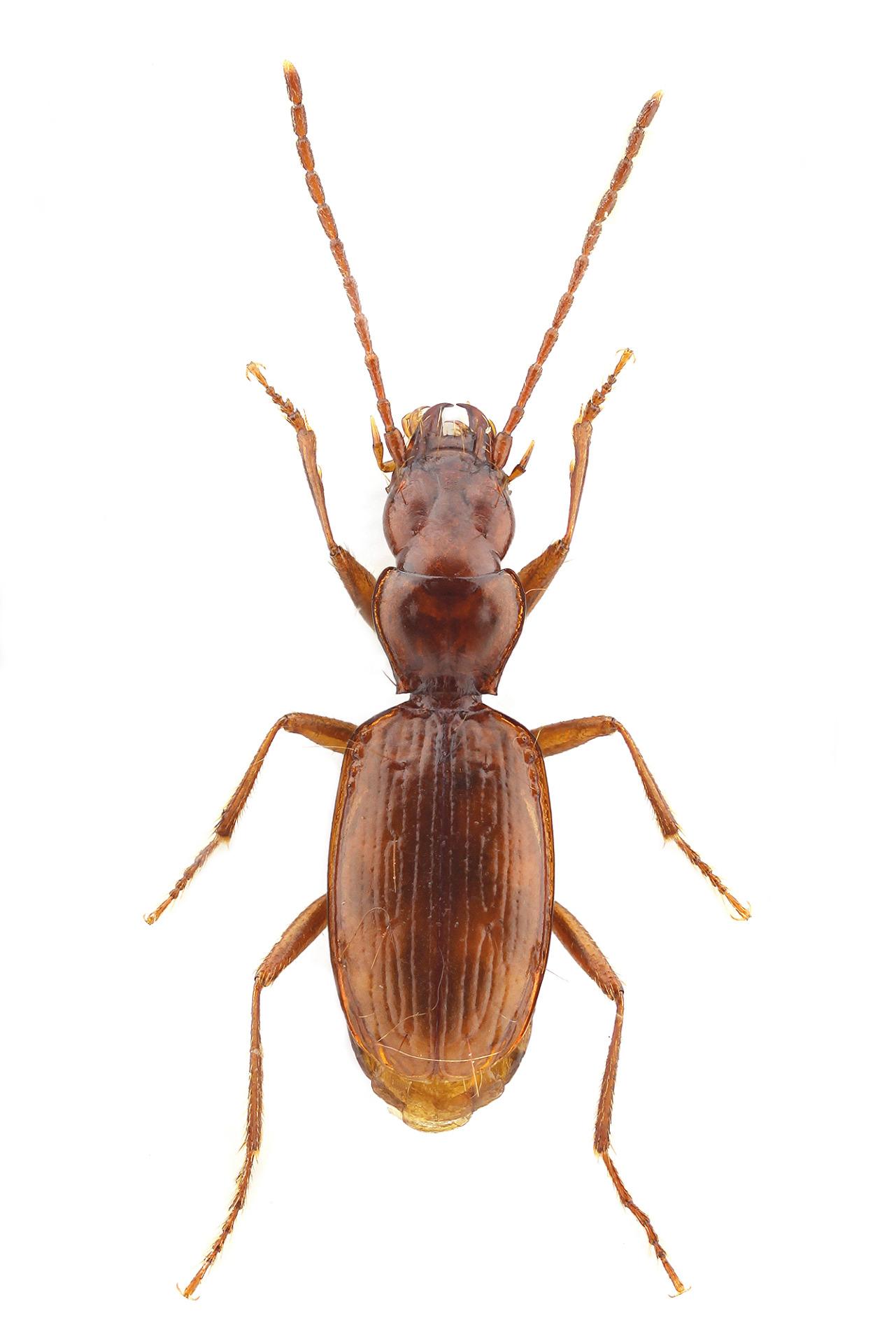 Coleoptera Duvalius (Neoduvalius) gejzadunayi