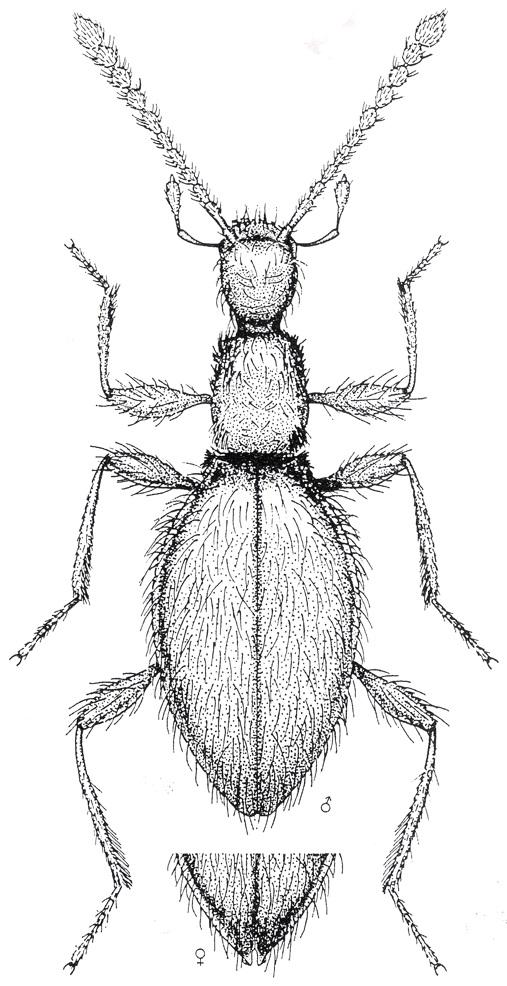 Coleoptera Euconnus (Tetramelus) bazgoviensis