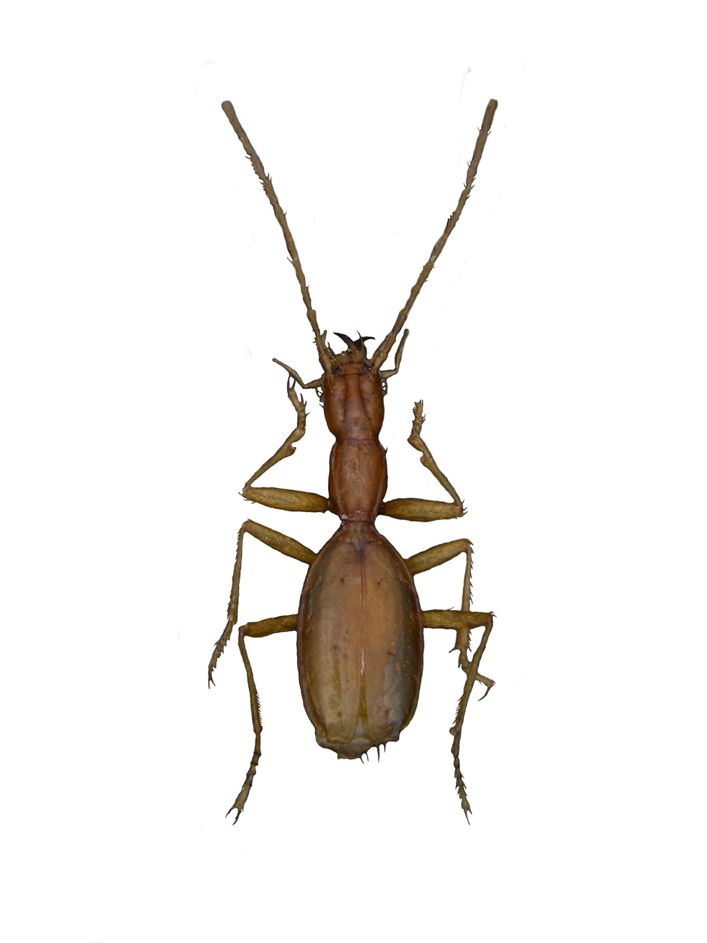 Coleoptera Jalzicaphaenops poljaki