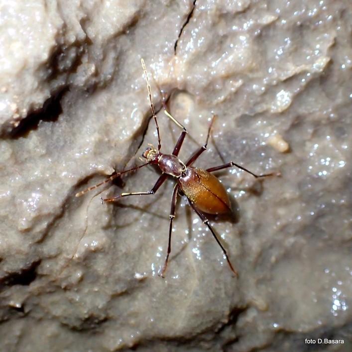 Coleoptera Kircheria beroni