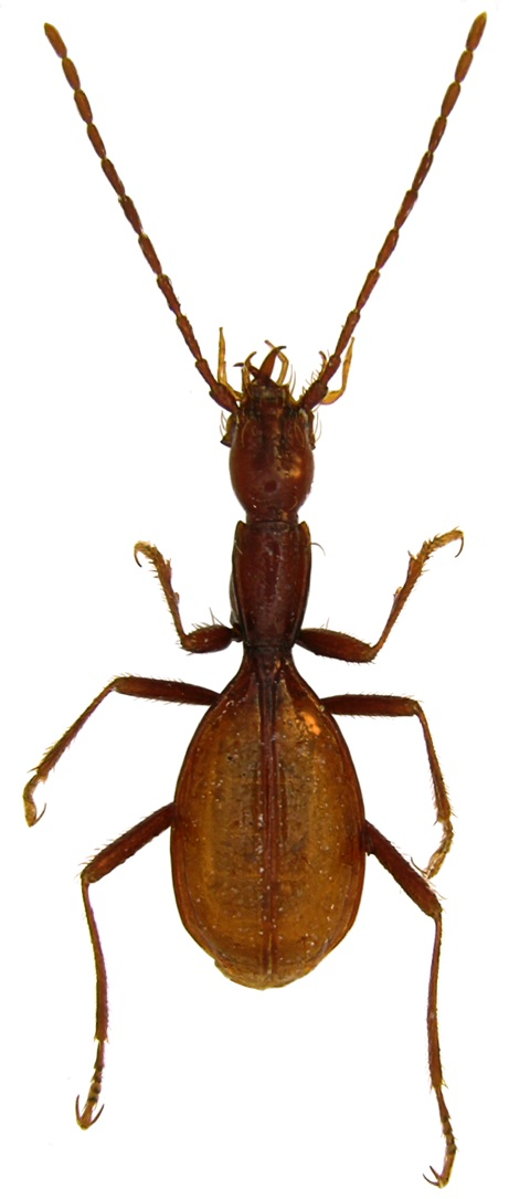 Coleoptera Minosaphaenops croaticus
