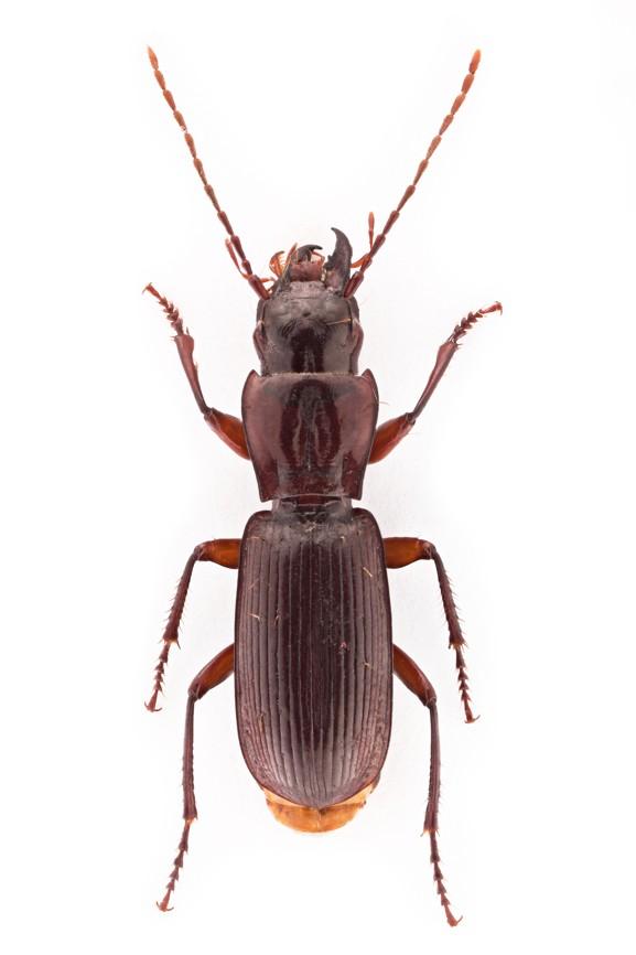 Coleoptera Speluncarius biokovensis