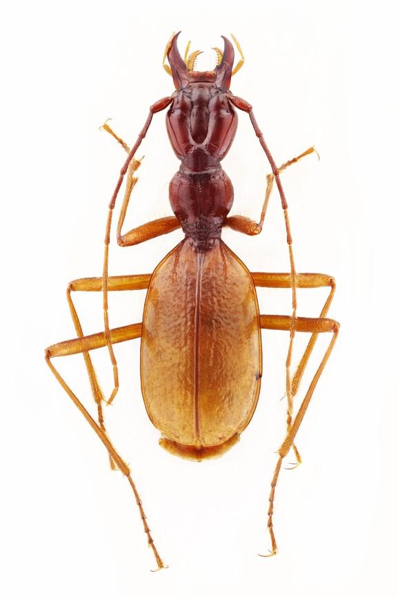 Coleoptera Velebitaphaenops giganteus
