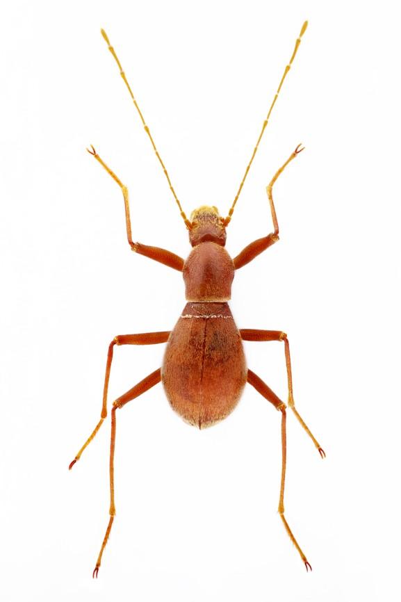 Coleoptera Velebitodromus ozrenlukici